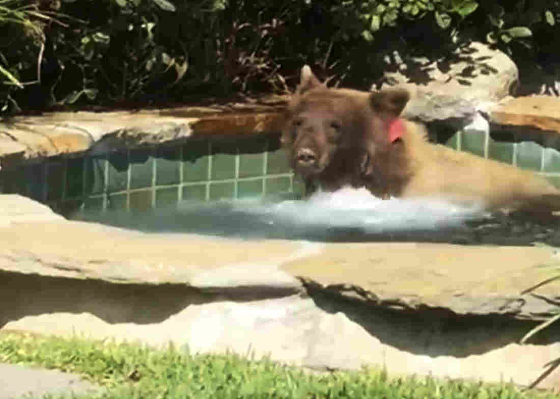 Margarita-loving bear takes a dip in a hot tub