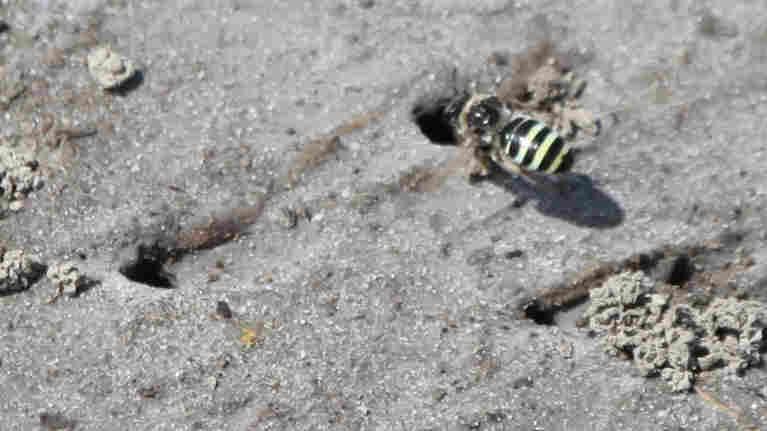 Native Bees And Alfalfa Farmers — A Seedy Love Story