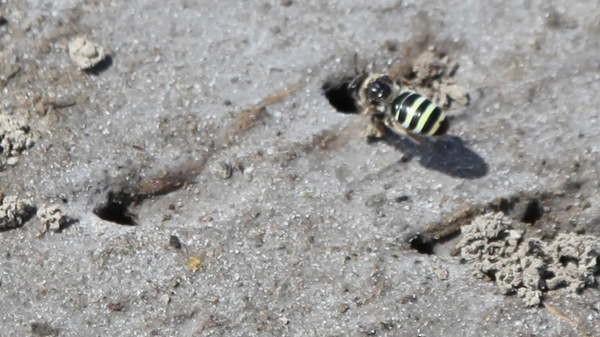 The alkali bee is slightly smaller than a honey bee, with opalescent stripes that shimmer between yellow, green, red and blue.