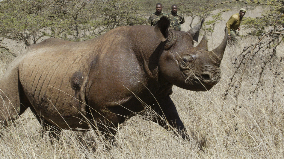 Eight critically endangered black rhinos died following an attempt to move them from Kenya's capital, Nairobi, to a national park hundreds of kilometers away. (Sayyid Abdul Azim/AP)