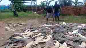 Angered By Attack, Mob Slaughters Hundreds Of Crocodiles In Indonesia