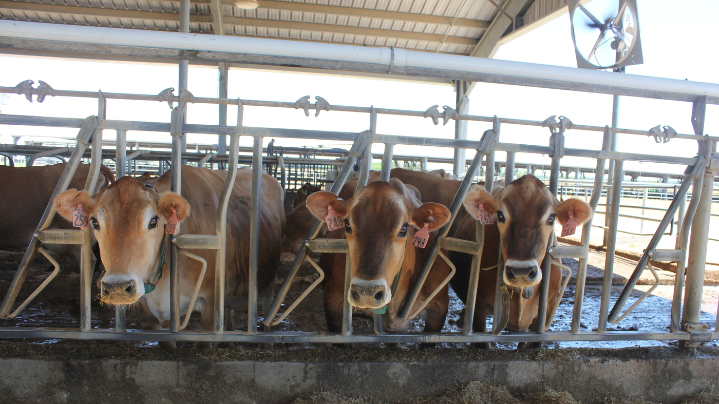 As Milk Production Cools In Summer, Farmers Try To Help Cows Take The Heat