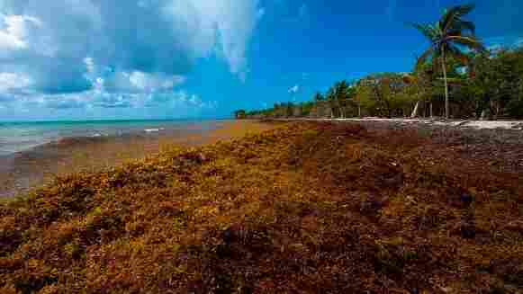 Masses Of Seaweed Threaten Fisheries And Foul Beaches