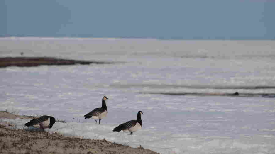 Migrating Arctic Geese Are Confused, Exhausted By Rising Temperatures