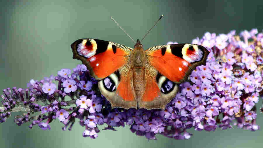 Britain's Big Butterfly Count Begins, With David Attenborough Leading The Charge