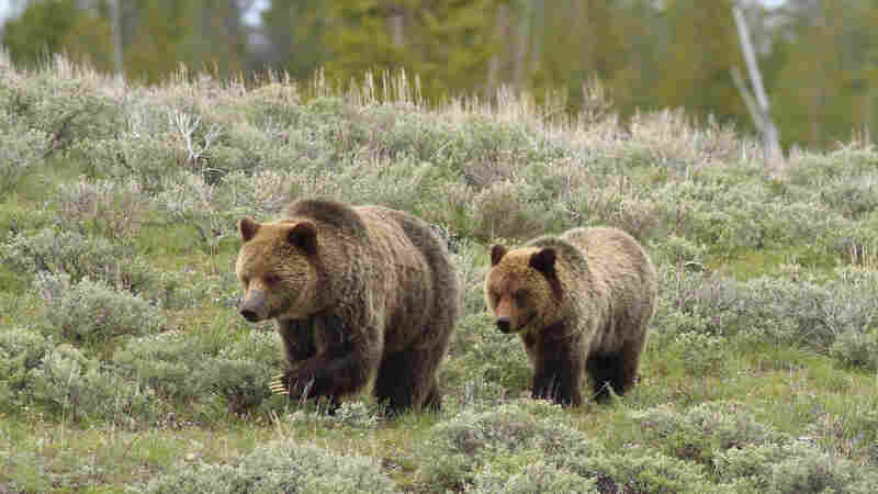Wyoming Gives 22 Winners The Chance To Hunt Grizzlies — Or Not