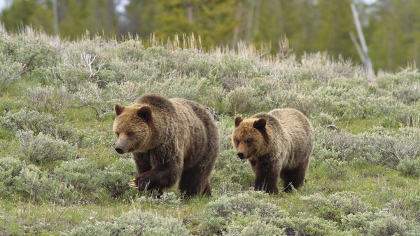 Sow Grizzly and cub in Wyoming.
