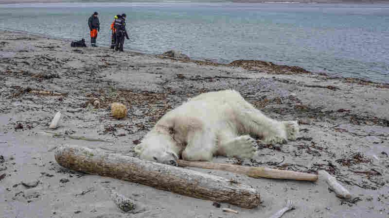Polar Bear Shot And Killed 'In An Act Of Self Defense,' Cruise Ship Company Says