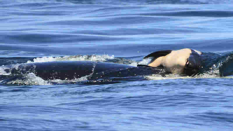 After Calf's Death, Orca Mother Carries It For Days In 'Tragic Tour Of Grief'