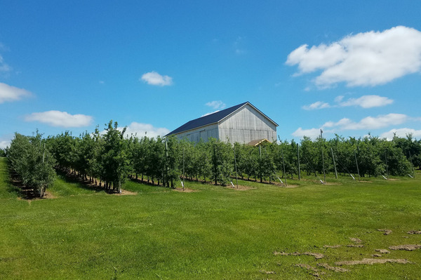 Modern apple orchards have trees planted in tight rows on dwarfing rootstocks, which produce high-quality apples more efficiently.