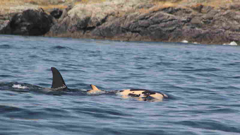 Grieving Mother Orca Carries Dead Calf For More Than A Week, Over Hundreds Of Miles