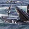 ¿Los científicos espían a las ballenas para saber cómo comen, hablan y caminan?