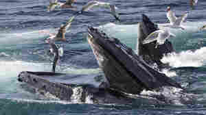 Scientists Are 'Spying On Whales' To Learn How They Eat, Talk And ... Walked?