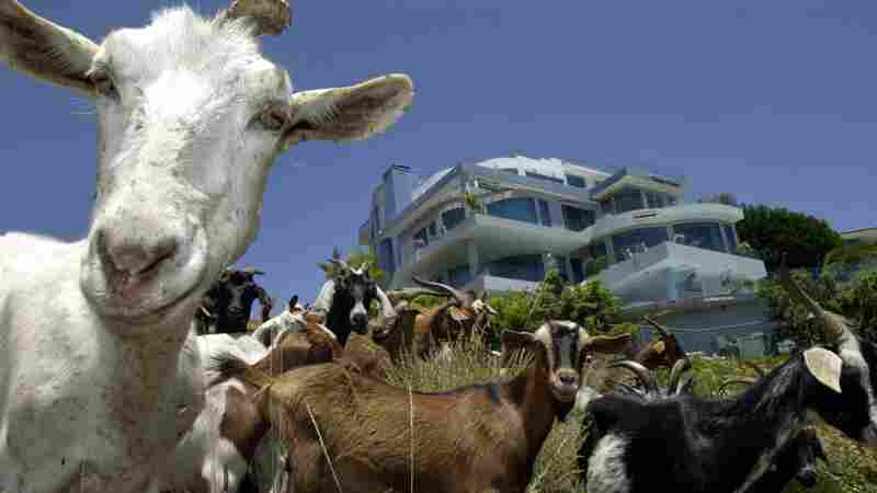 Kids These Days: Unruly Goats Graze Hell Across Suburban Boise