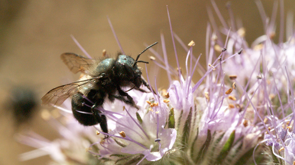 A female blue orchard bee forages for nectar and pollen on Phacelia tanacetifolia flowers, also known as blue or purple tansy. Blue orchard bees are solitary bees that help pollinate California