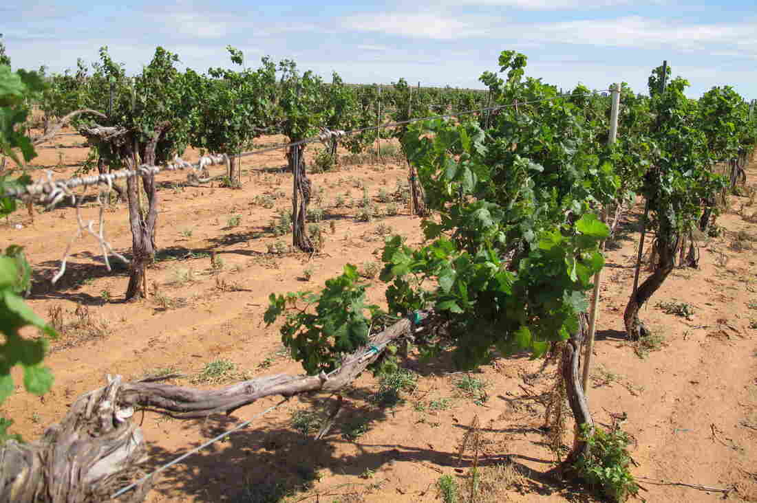 West Texas Vineyards Blasted By Herbicide Drift From Nearby Cotton Fields : The Salt : NPR