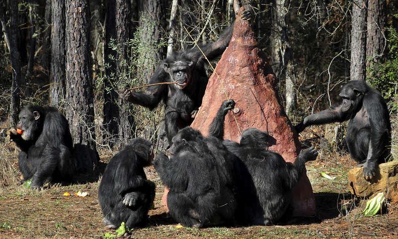 retired lab chimps find sanctuary in louisiana but the move can be