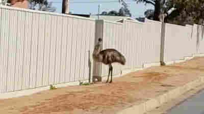 Emus Swarm Town As Australia's Drought Worsens