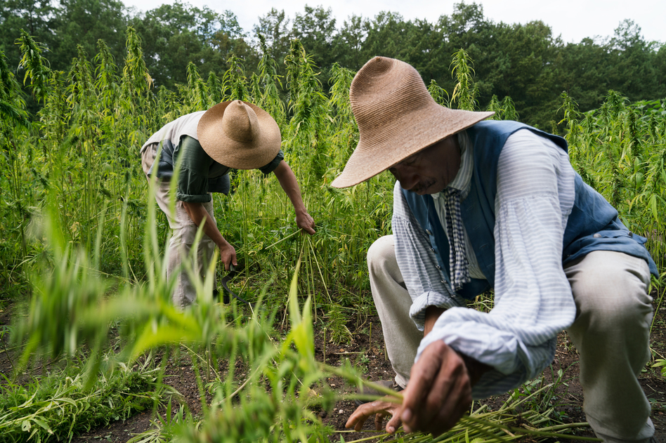 Justin Filipowski (left) and Peter Curtis, dressed in 18th-century post-Colonial costume, harvest hemp at Mount Vernon, George Washington's historic plantation. It is the first hemp crop harvest on this Founding Father's estate in decades, maybe centuries. (Claire Harbage/NPR)