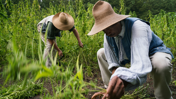 After Centuries, Hemp Makes A Comeback At George Washington s Home