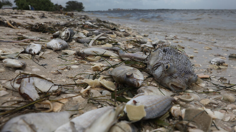 scientists battle red tide that turned florida coast into wildlife