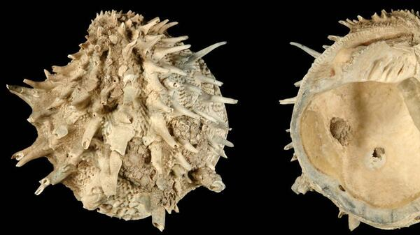 Arcinella cornuta was included in a new study of fossil and extant bivalves and gastropods in the Atlantic Ocean. Researchers found that laziness might be a fruitful strategy for species survival.