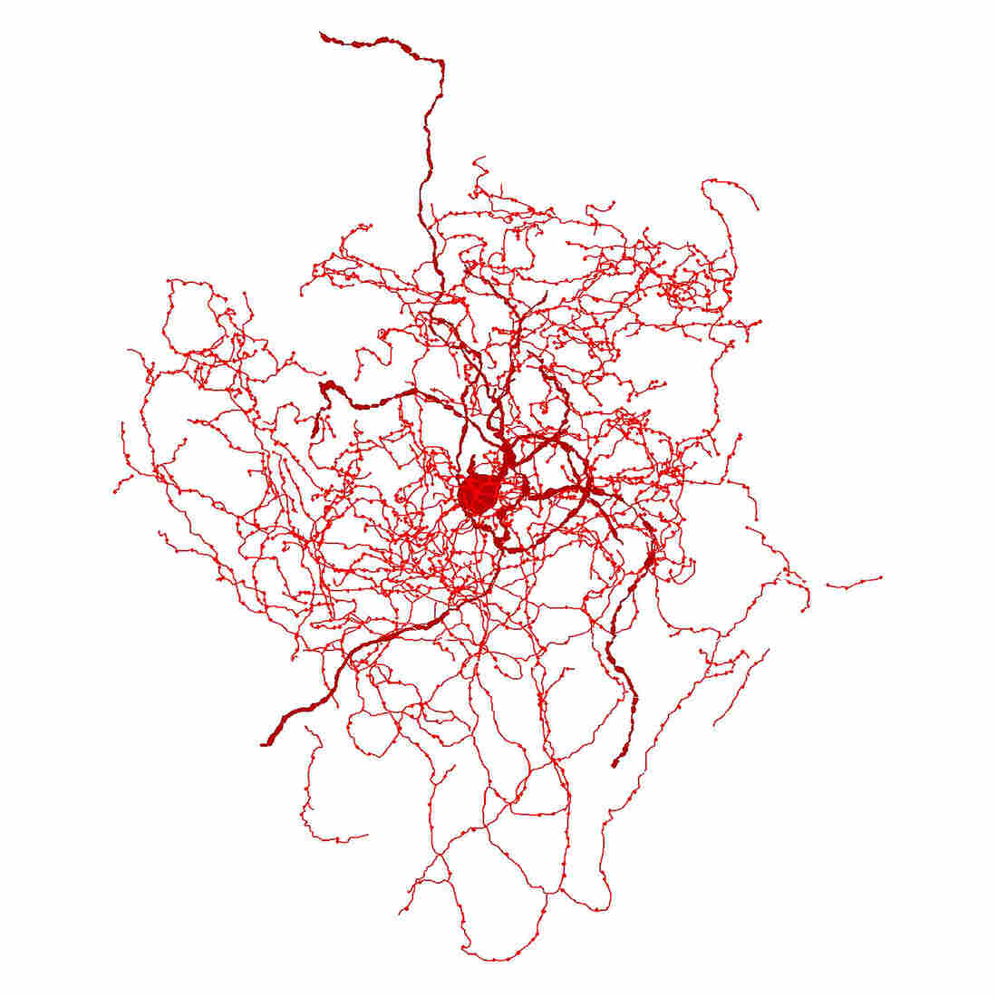 Meet the Rosehip Neuron: A Newly Discovered Cell in the Human Brain