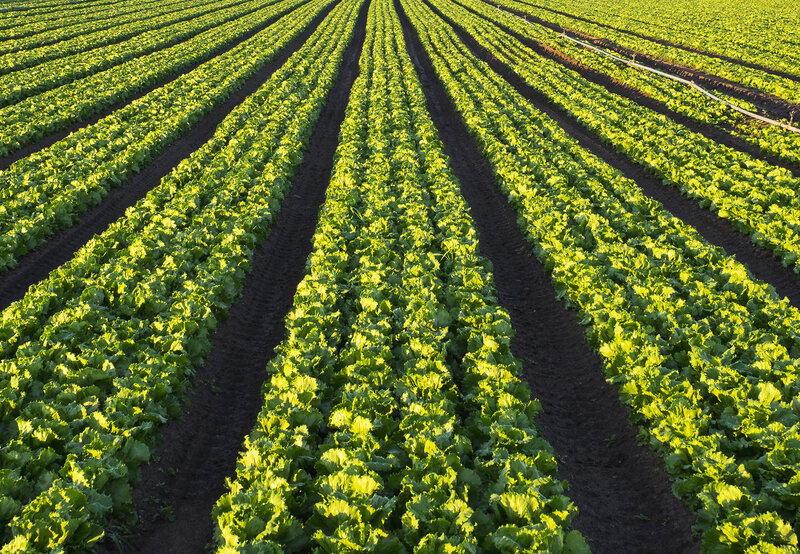 What Sparked An E  Coli Outbreak In Lettuce? Scientists Trace A