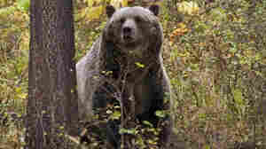 Grizzlies Have Recovered, Officials Say; Now Montanans Have To Get Along With Them