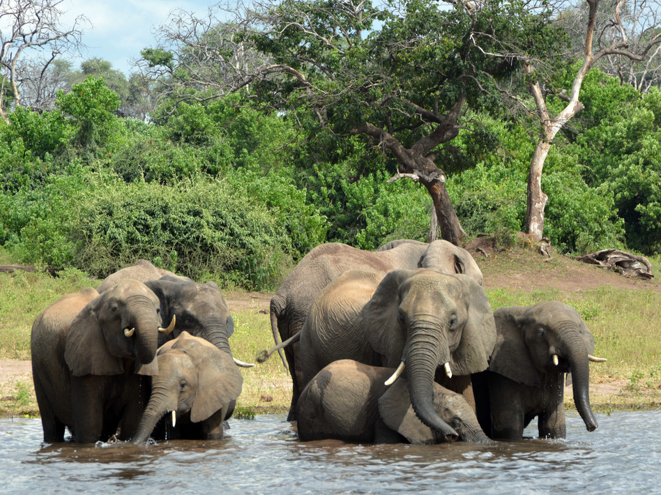 Elephants in the Chobe National Park in Botswana. Eighty-seven elephant carcasses were found in the country, months after it disarmed its anti-poaching unit. (Charmaine Noronha/AP)