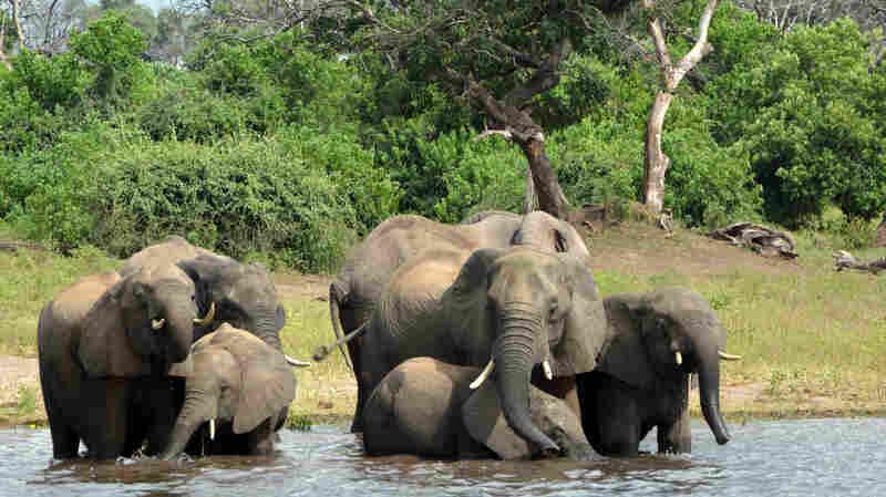 Nearly 90 Elephants Found Dead Near Botswana Sanctuary, Killed By Poachers