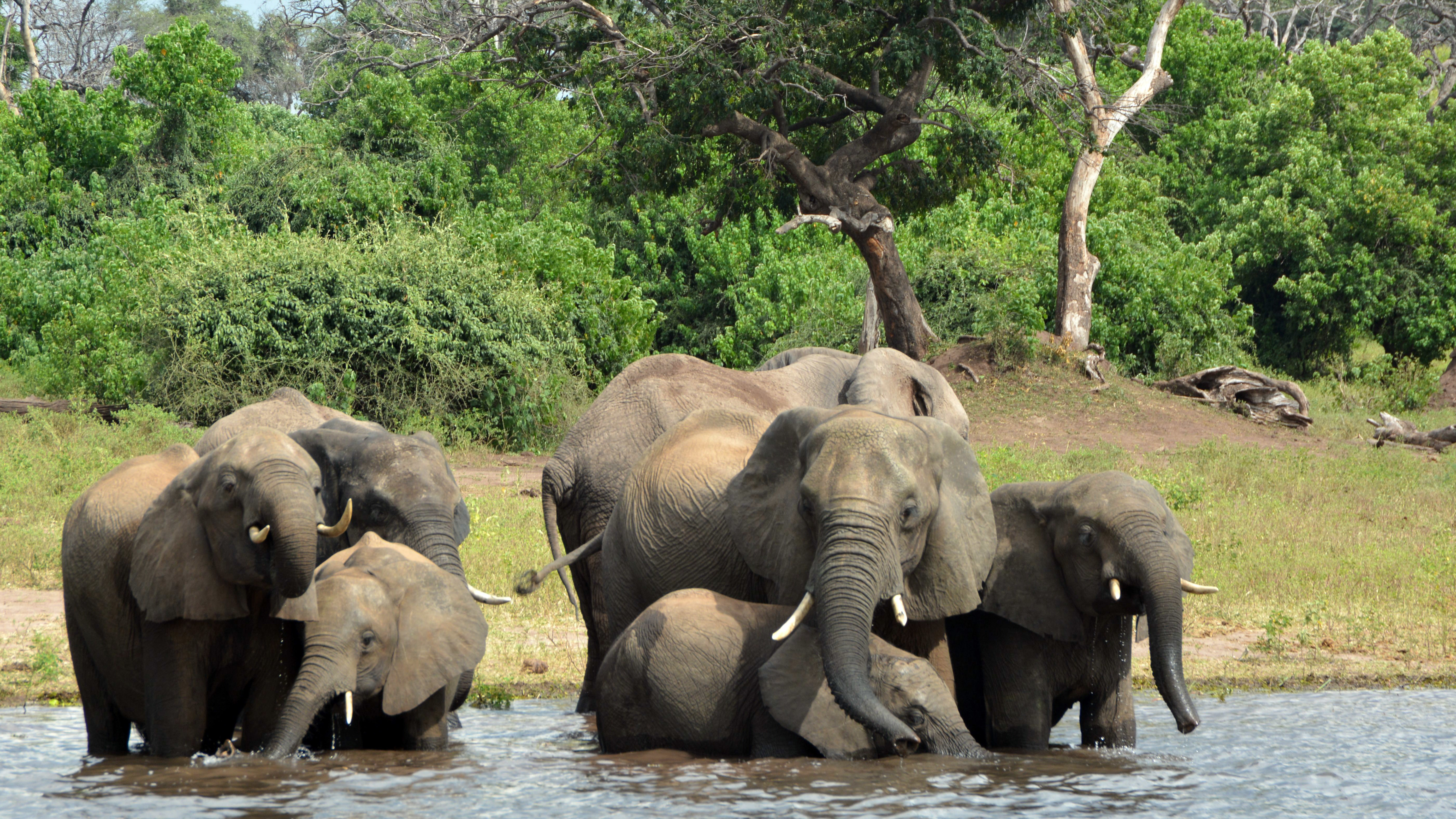 Almost  100 Elephants Killed For Ivory In Botswana