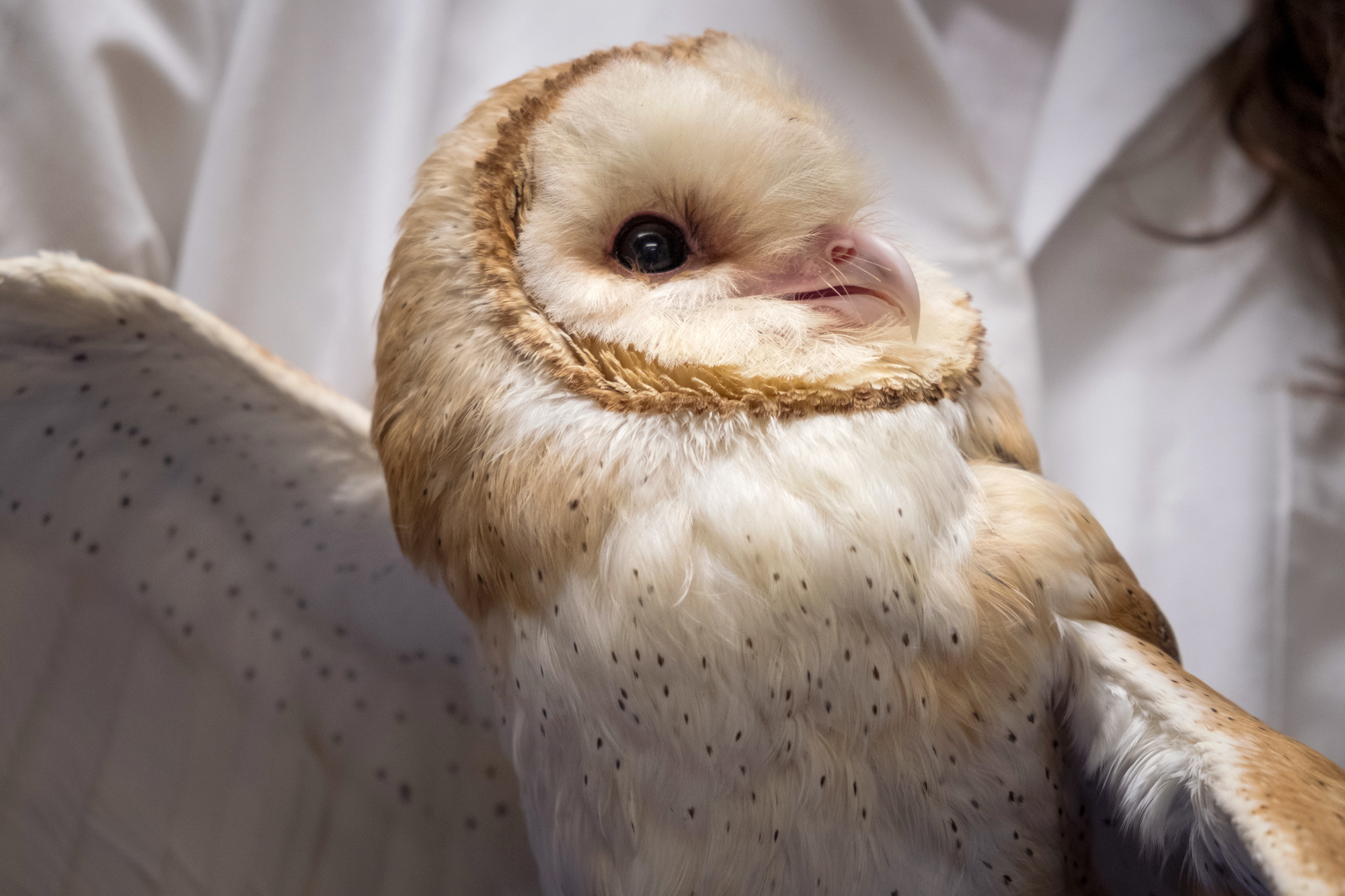 Barn Owls Help Researchers Understand How The Brain Concentrates Shots Health News Npr