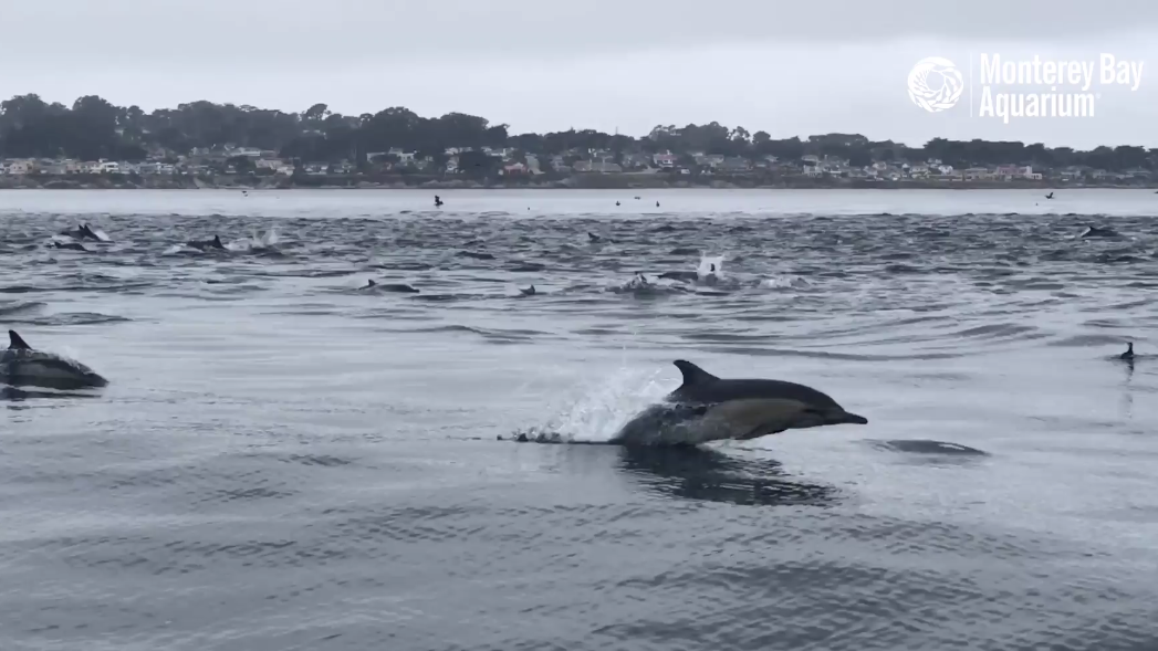 Dolphin 'superpod' filmed near California coast