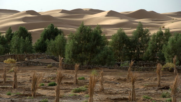 The Sahara desert creeps up on a palm field.