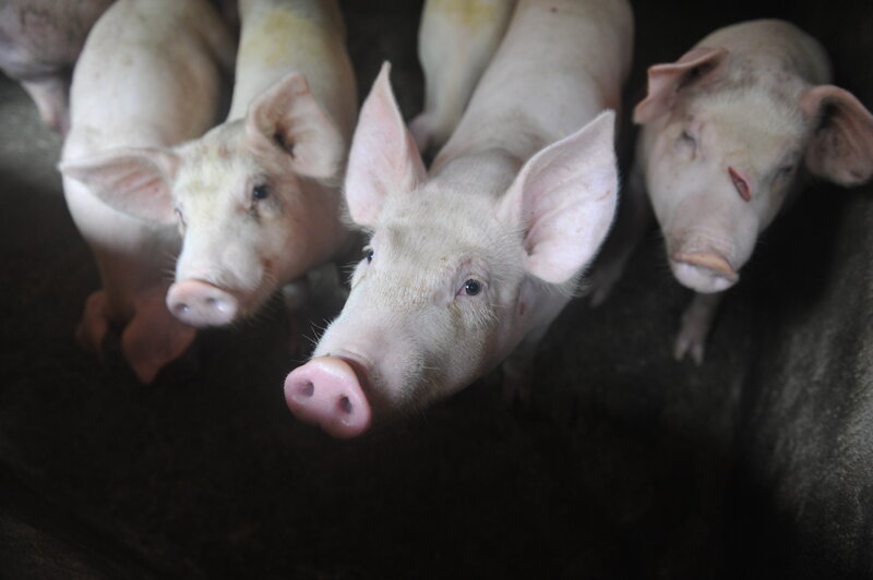 China Tries To Stop African Swine Fever From Killing