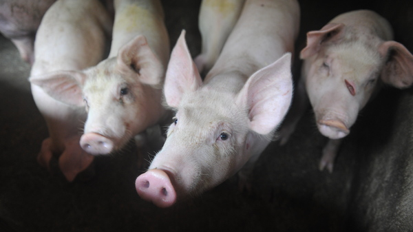 A Deadly Virus Threatens Millions Of Pigs In China