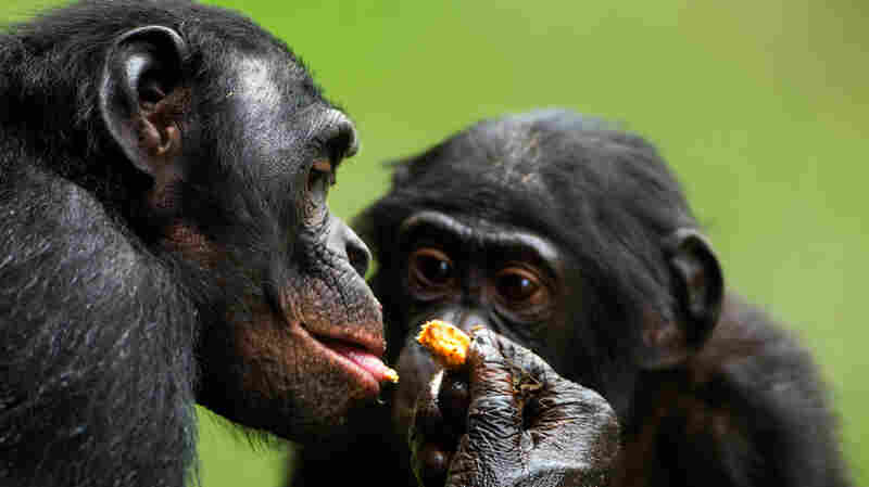 What's Mine Is Yours, Sort Of: Bonobos And The Tricky Evolutionary Roots Of Sharing