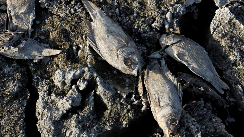 Dead fish are seen in ponds that dried up because of drought in Aceh, Indonesia, this past July.