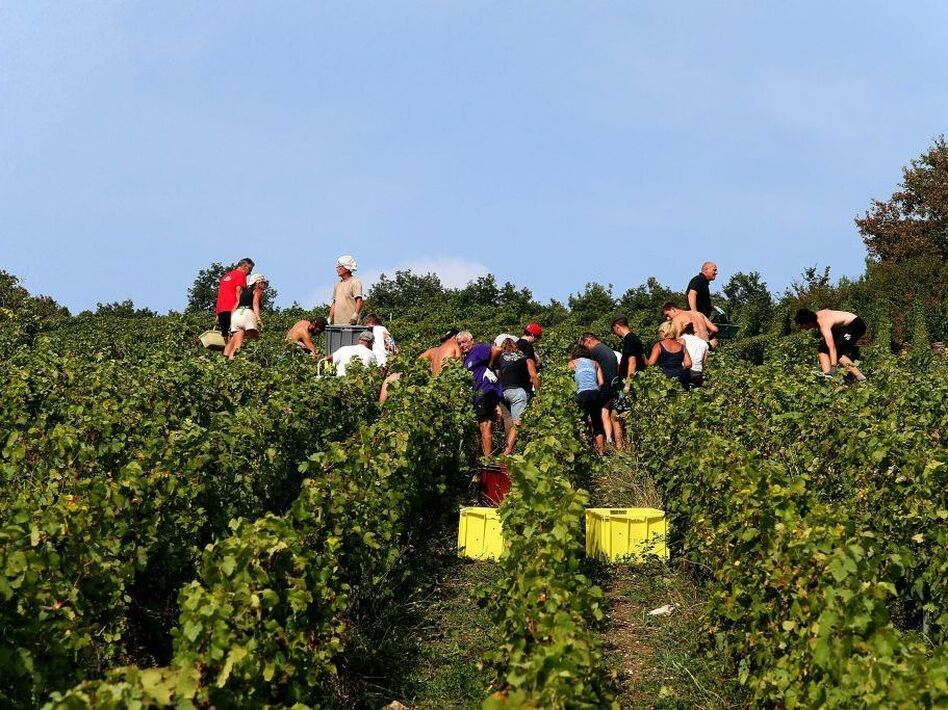 The champagne grape harvest in northeastern France, like this one near Mailly-Champagne, started early this year due to lack of rain. (Francois Nascimbeni/AFP/Getty Images)