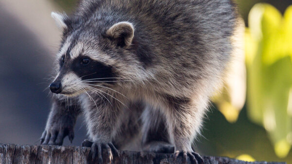 A raccoon sitting on the stump of a tree in the Beaches in Toronto. The Toronto Star