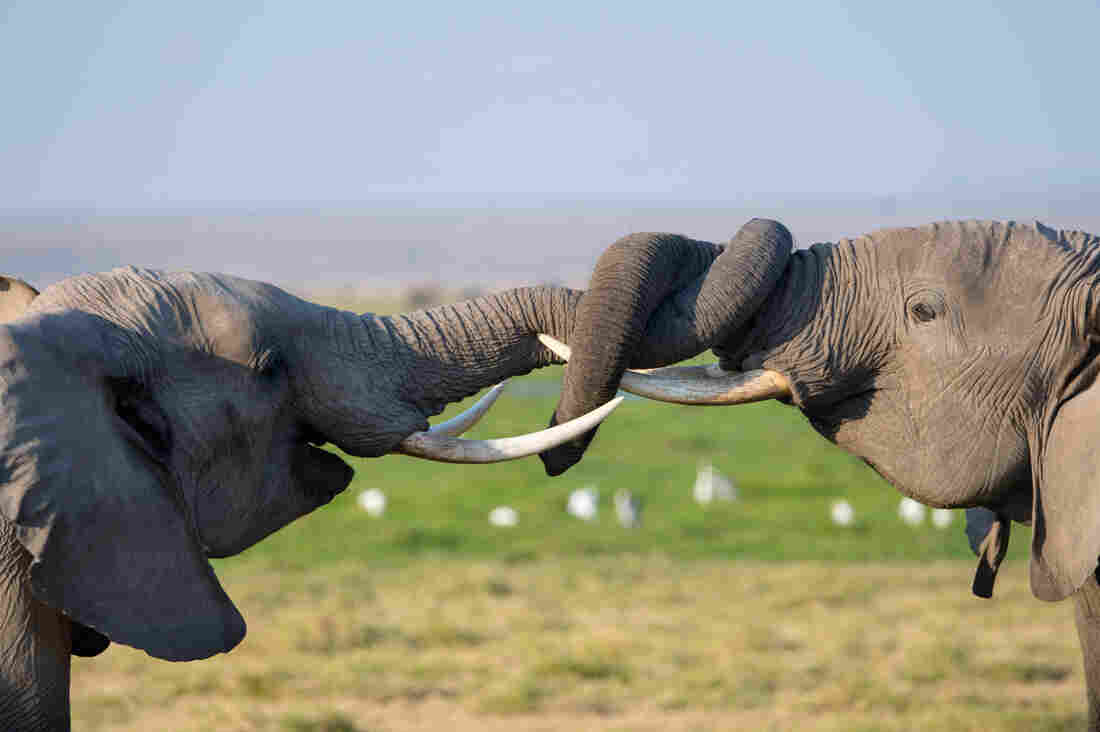 DNA testing could help identify who is killing Africa's elephants