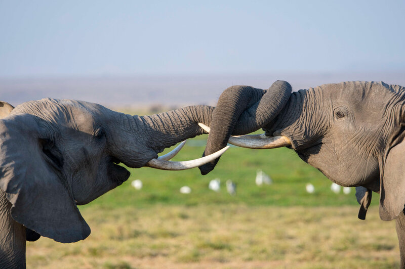 6896014f4319 DNA Test Helps Conservationists Track Down Ivory Smugglers   NPR