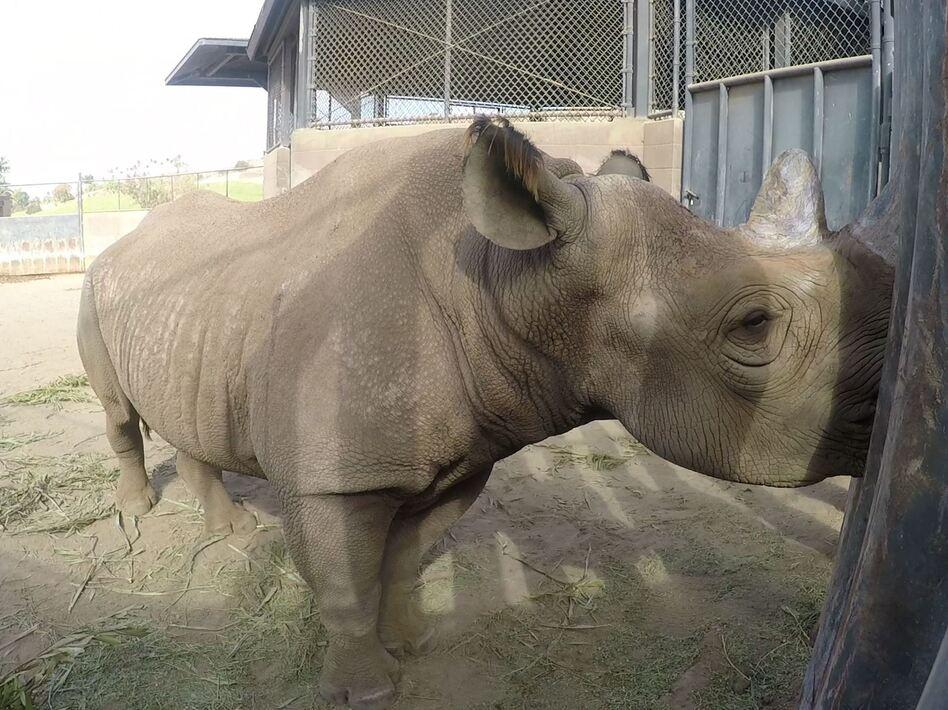 San Diego Rhino Finds A New Home In Tanzania   WBUR News