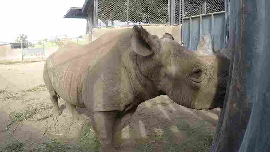 San Diego Rhino Finds A New Home In Tanzania