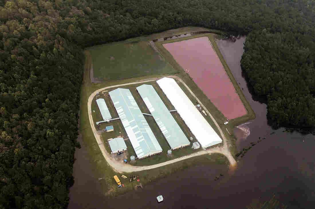 Overflowing Hog Lagoons Raise Environmental Concerns In North Carolina : NPR