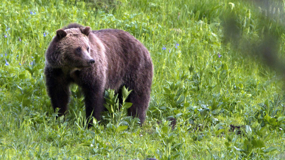 A grizzly bear in 2011 in Yellowstone National Park. A federal judge restored the species to the endangered list on Monday. (Jim Urquhart/AP)