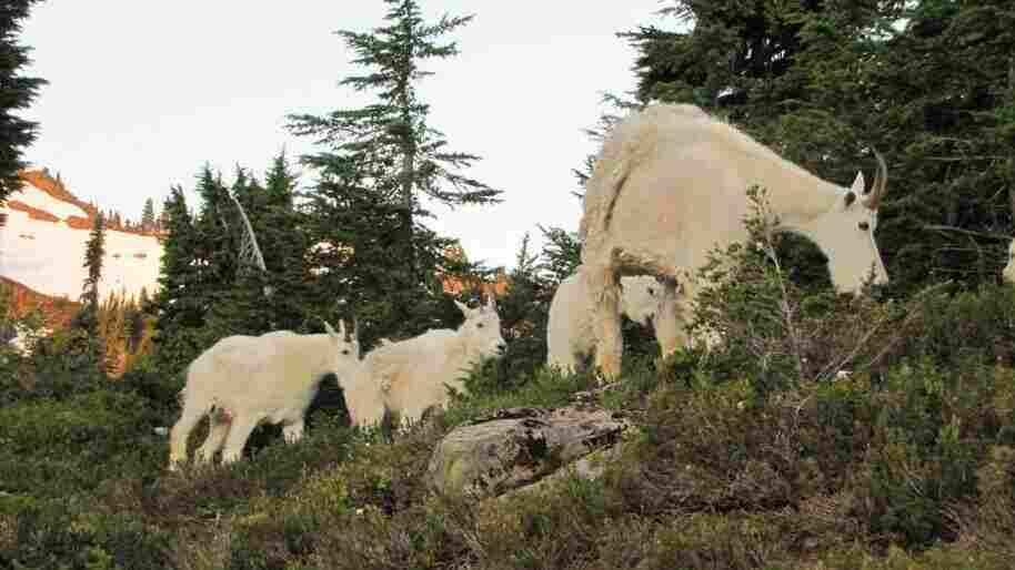 Via Truck And Helicopter, Mountain Goats Find New Home