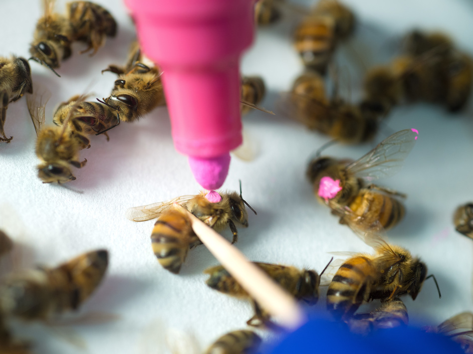 A new study from the University of Texas at Austin suggests that bees exposed to glyphosate, the active ingredient in Roundup, lose some of the beneficial bacteria in their guts and are more susceptible to infection and death. (Vivian Abagiu/College of Natural Sciences at University of Texas in Austin)