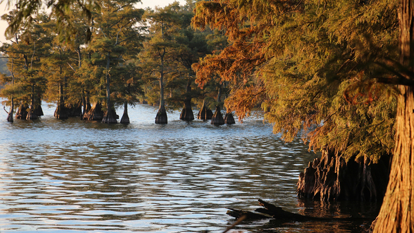 Cypress trees line Reelfoot Lake, in northwestern Tennessee. Some of them show signs of damage from an herbicide that farmers sprayed on nearby soybean fields.